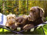 hond,dog,teckel,dachshund,olav,wirehaired miniature dachshund,ruwhaar dwerg teckel,olav,hessel,labrador,