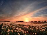 tulpen,tulips,sunset,zonsondergang